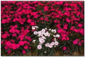 FlowersDorothy